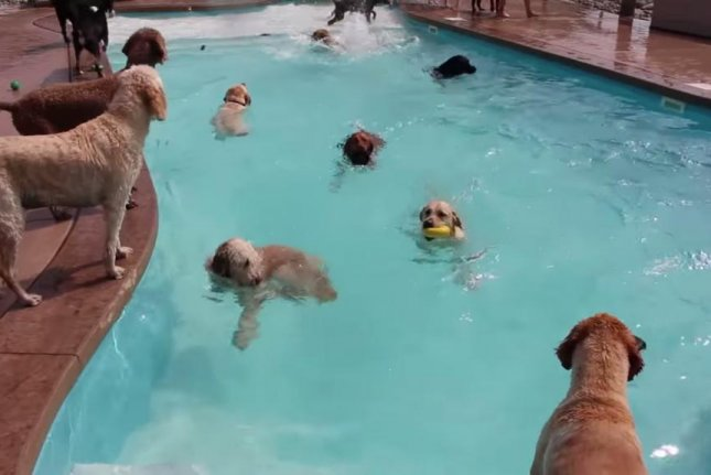 Guests at Lucky Puppy doggie daycare in Maybee, Mich., beat the heat with a party in a bone-shaped pool. Lucky Puppy/YouTube video screenshot
