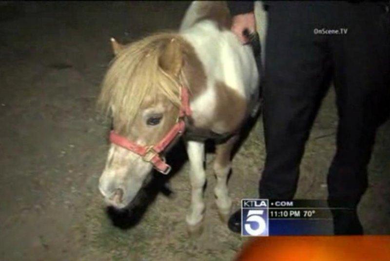 Los Angeles police caught this miniature horse running loose in traffic Tuesday night. KTLA-TV video screenshot