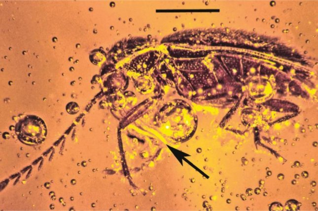 A ptilodactyline beetle with pollen on its mouth pieces was found inside 20-million-year-old Mexican amber. Photo by Entomological Society of America