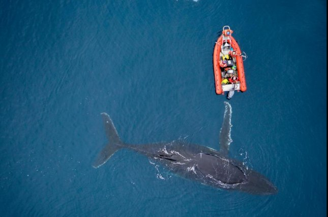 A humpback whale and a boat of marine biologists are pictured from a drone during research on ocean mammals at risk of extinction. Photo by Duke Marine Robotics and Remote Sensing Lab