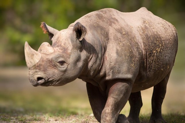 In China, where demand for rhino horn is soaring, 2.2 pounds of the animal keratin can easily fetch $60,000 in the black market. Photo by jo Crebbin/Shutterstock