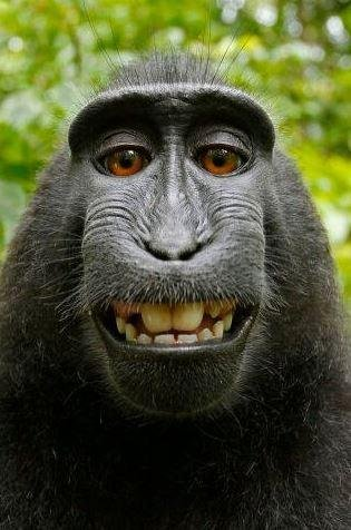 People for the Ethical Treatment of Animals and photographer David Slater announced a settlement Monday to their two-year court case. PETA contended a selfie taken with Slater's photography equipment by Naruto, a crested macaque monkey, constituted the monkey's intellectual property. Image courtesy of PETA
