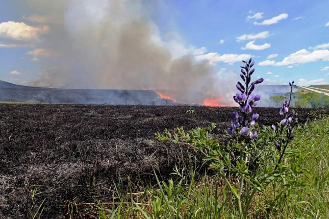 A wild indigo flower grows at the edge of a prescribed burn managed by ecologists working at Kansas State University's Konza Prairie Biological Station. Photo by John Briggs/Kansas State