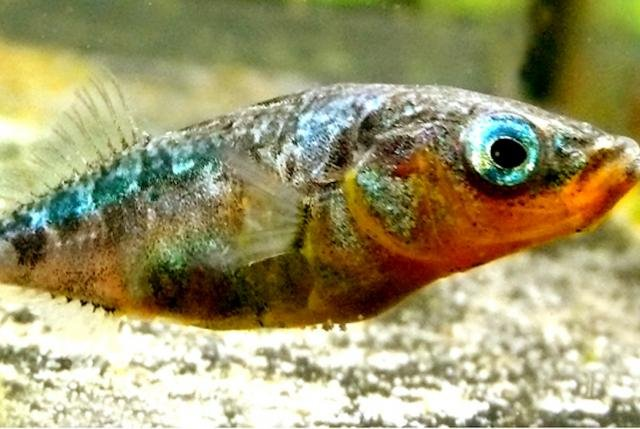 A tapeworm infection causes the three-spine stickleback to adopt riskier, reckless behavior. Photo by WWU/Jörn Scharsack