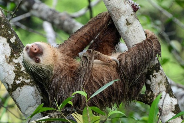 Sloths provide important ecological services, like spreading seeds from fruit of trees throughout the forests of South America. Many sloth species face a heightened risk of extinction due to habitat fragmentation. Photo by Geoff Gallice/Flickr