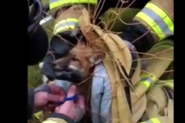 Firefighters work to fre a fox trapped in a soccer net. Photo by New Hope Eagle Volunteer Fire Company/Facebook