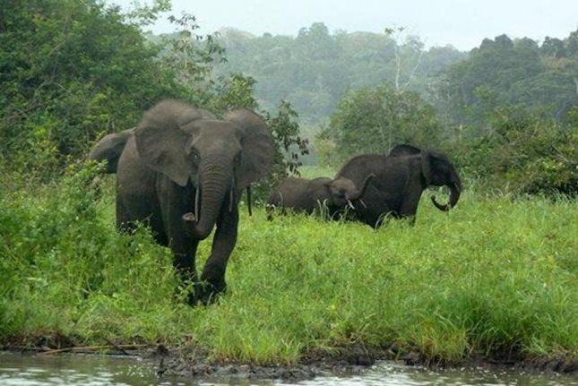 A new study suggests 80 percent of elephants in a preserve in Gabon have been lost to poachers, mainly from neighboring Cameroon, between 2004 and 2014. Pictured, a small group of forest elephants roaming Gabon's Minkébé National Park. Photo by John Poulsen/Duke University