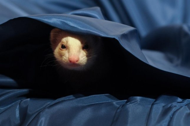 Lisa Marie Buckley's pet ferret, Thomas, escaped from her home in Ince, England, and was found the next morning when a stranger awoke to find the pet had joined him in bed. Photo by christels/Pixabay.com