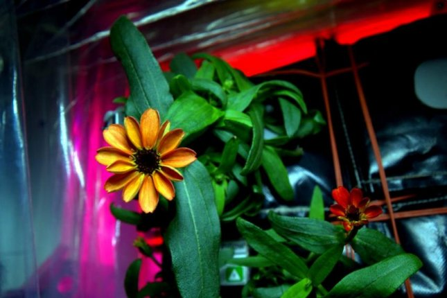 NASA astronaut and International Space Station Commander Scott Kelly has shared images of the first flower grown in space: a zinnia that recently bloomed. Scott Kelly