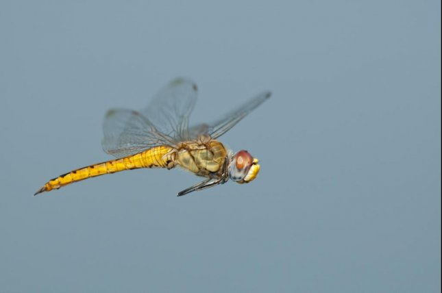 The glober skimmer dragonfly is the world's most prolific long-distance traveler. Photo by Greg Lasley/Rutgers University