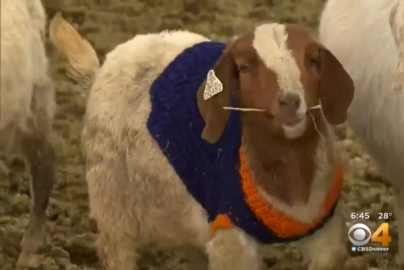 A baby goat models one of Rebecca Herberg's Denver Broncos sweaters. CBS Denver video screenshot