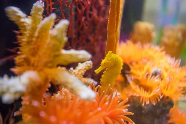 Cheeto the seahorse was initially mistaken for one of the cheesy snacks after being dropped near a young girl by a seagull. Photo courtesy of the Clearwater Marine Aquarium