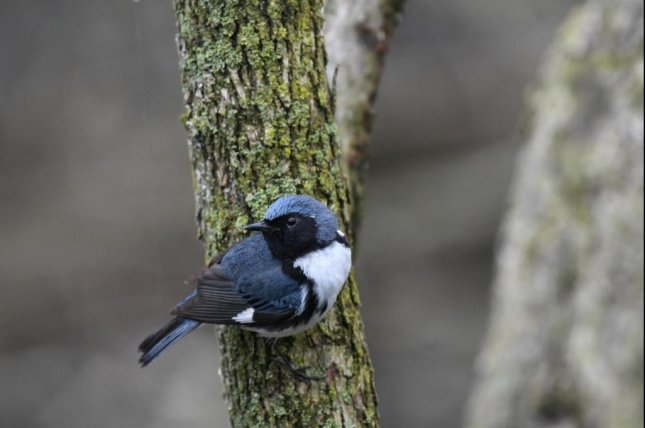 New research suggests black-throated blue warblers, a passerine species that travels back and forth between the Caribbean and the forests of the Eastern United States, have shifted the timing of both their spring and fall migrations during the last fifty years. Photo by Kyle Horton