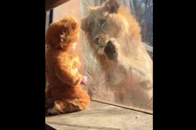 A lion shares a touching moment with a baby dressed in a lion costume at Zoo Atlanta. Screenshot: Newsflare