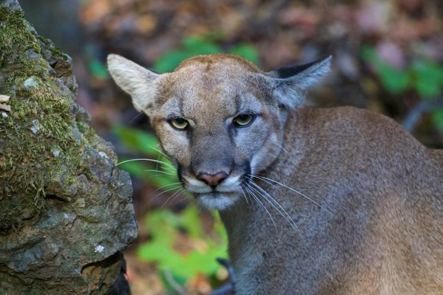Cougar found in man's luggage at McCarran Airport