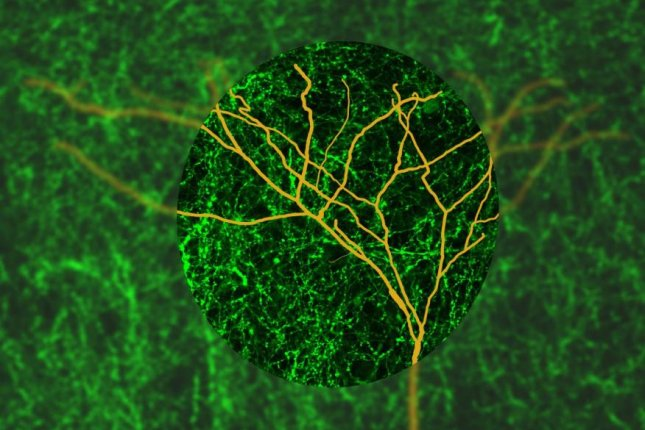 The cholinergic modulatory system's electric switch allows neocortical layer 5 pyramidal neurons to hone in on specific excitatory inputs. Photo by University of Queensland