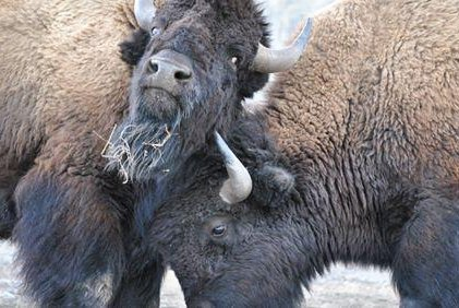 The hunt takes place when Yellowstone National Park's protected park bison descend from the mountains in winter to search for better forage material. Photo courtesy of Buffalo Field Campaign