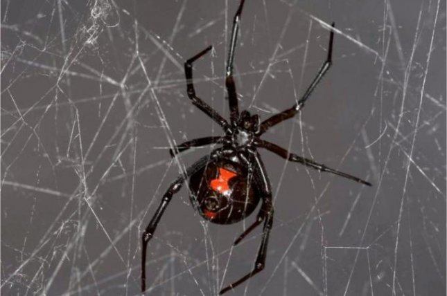 Researchers sequence black widow spider DNA from spider web samples. Photo by PLOS ONE/Notre Dame