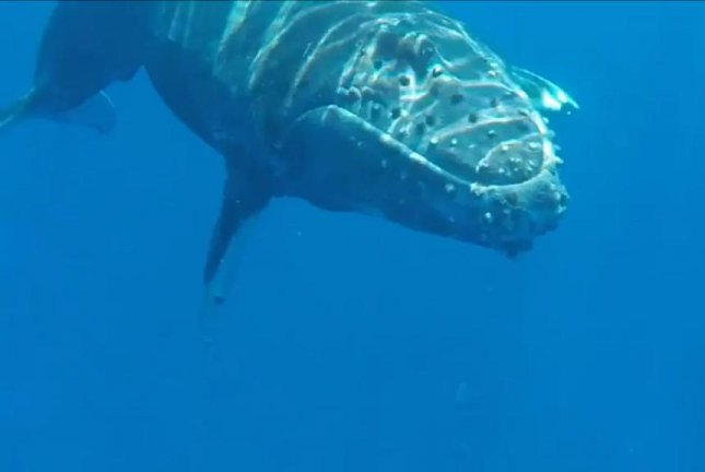 A humpback calf comes in close for some people watching. Screenshot: Newsflare