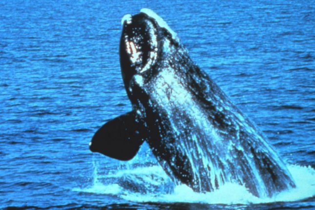 The approvals granted by U.S. President Donald Trump would allow oil and gas companies to disturb federally protected species, like the North Atlantic right whale, while prospecting for oil and gas in the Atlantic Ocean. Photo by NOAA