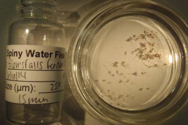 Spiny water fleas collected from Lake George. (Lake Champlain Research Institute)