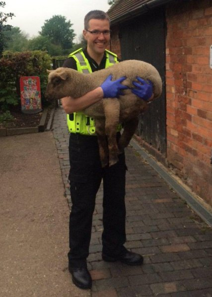 Inspector Clive Baynton holds one of the three stolen lambs rescued from the back of a van. Photo courtesy of the West Midlands Police