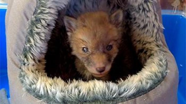 A baby fox cub, later nicknamed Dinah was rescued by the RSPCA after being found terrified and freezing in a drain.