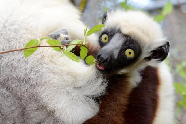 Leaf-eating lemurs require specialized bacteria in their guts to break down the fibrous plant material. Photo by David Haring/Duke Lemur Center
