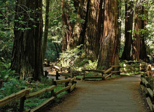 A man was killed after being struck by a Redwood tree and a woman was injured while walking on a path at Muir Woods National Monument in California. Photo by EPoelzl/Wikimedia Commons