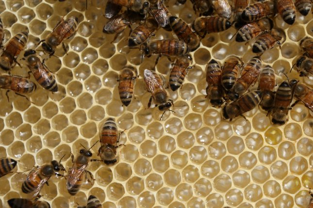 A new study found the combination of insecticides and parasitic mite infestation resulted in a reduction in wintertime survival among exposed honeybee colonies. Photo by Ismael Mohamad/UPI
