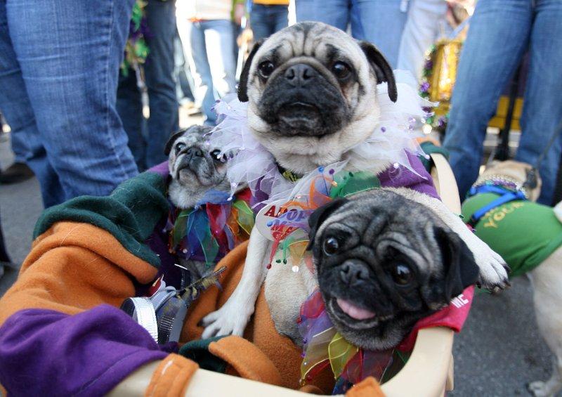 A wagon full of pug dogs up for adoption. (UPI Photo/Bill Greenblatt)