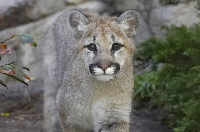 A Delta flight's landing at an Idaho airport was delayed Saturday when a mountain lion wandered out onto the runway. File Photo by Ken Bohn/San Diego Zoo/UPI