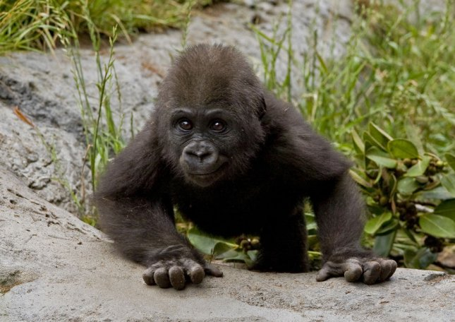 An eight-month-old western lowland gorilla ventures away from his troop while foraging for food in his exhibit at the San Diego Zoo on May 29, 2009. The baby, named Frank, joined his family in the Gorilla Tropics exhibit two months ago and is starting to show more of his natural instincts, including chest beating. This gorilla is expected to grow to more than 400 pounds. (UPI Photo/Ken Bohn/San Diego Zoo). .