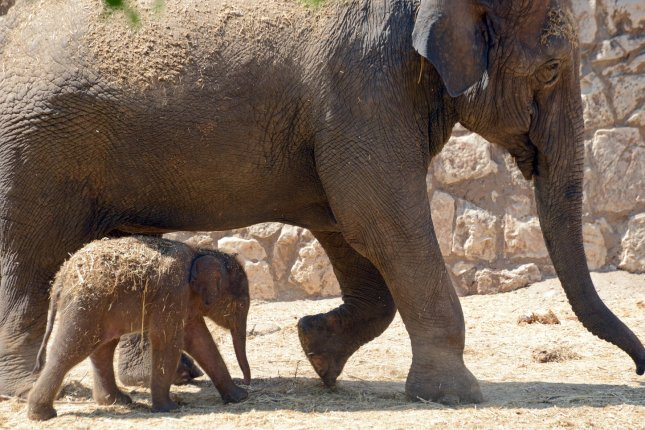 A new study by the University of Utah has found the genetic mechanism that determines why elephants rarely get cancer. The research might lead to a breakthrough in human cancer treatment. Photo by Debbie Hill/UPI