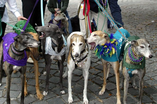 NOP2002012705 - 27 JANUARY 2002 - NEW ORLEANS, LOUISIANA, USA: From left, Julie LeBlanc, Gerry LeBlanc, Ann Wierengo and Tammy Bourgeois prepare their costumed greyhounds for the Krewe of Barkus parade on Jan. 27, 2002, at Armstrong Park in New Orleans. Barkus is a chance for dogs and their owners to put on costumes and take part in Carnival fun. rlw/aj/A.J. Sisco UPI