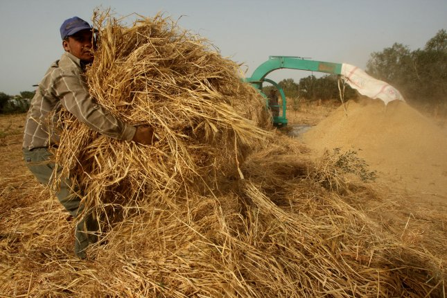Palestinian farmers grind load a combine harvester with wheat. File Photo by Ismael Mohamad/ UPI