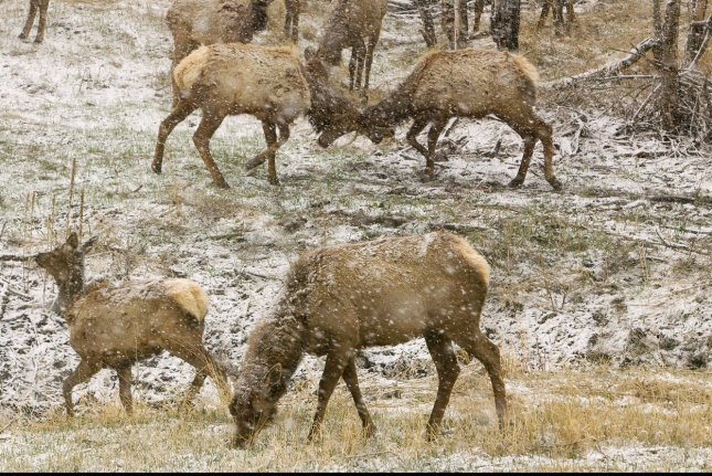 National Park Service Officials Euthanize Elk After Head Butting Video Goes Viral