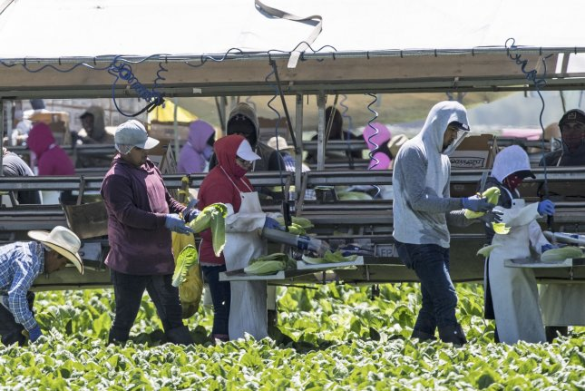 Farm workers harvest romaine lettuce in Salinas, Calif., in April. Agricultural workers have remained on the job providing produce during the coronavirus pandemic. Photo by Terry Schmitt/UPI