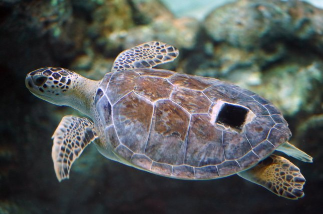 Juvenile sea turtles are particularly at risk of eating plastic waste due to the amount in the world's oceans and spending their early lives feeding near the surface -- where plastic gathers. File Photo by Bill Greenblatt/UPI