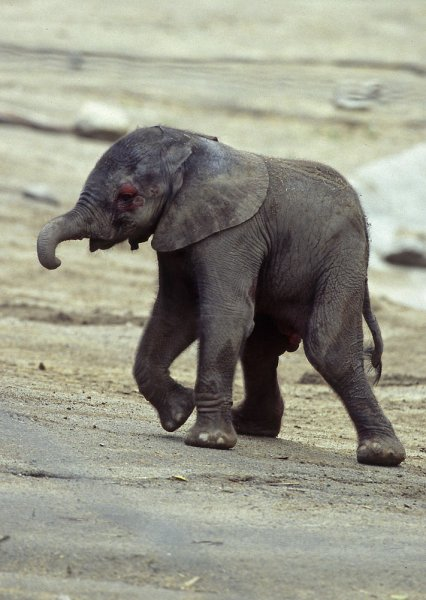 A baby male elephant calf takes its first steps February 23, 2004. The calf was born to a 13-year-old African elephant Ndlulamitsi (n-doo-lah-mitt-see) at the San Diego Zoo's Wild Animal Park February 23, 2004. The 1,800-acre park located in the San Pasqual Valley, saved Ndlulamitsi and six other African elephants in August 2003. The elephants were scheduled to be culled in Swaziland's national parks because of an elephant overpopulation. File photo UPI Photo/Ken Bohn
