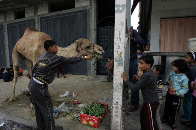 Camel-to-human contact has been targeted as the main culprit in the spread of the MERS virus. UPI/Ismael Mohamad