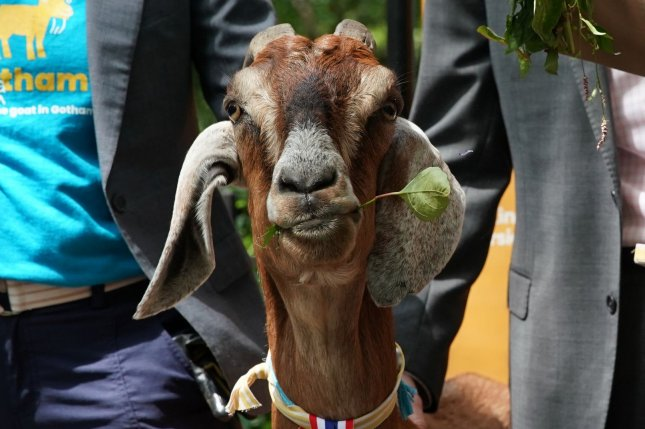Police in Canada said officers investigating reports of a child crying in the woods discovered the source of the sound was actually a goat with its head stuck in a fence. File Photo by John Angelillo/UPI