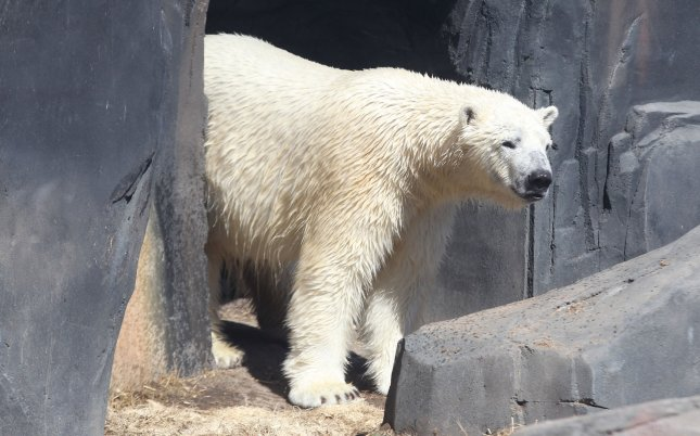Kali the polar bear at the St. Louis Zoo. On Wednesday, Berit, a female polar bear at the Cincinnati Zoo, escaped her enclosure Wednesday morning. She was never loose in the zoo, however, and neither staff nor visitors were in danger, the zoo said. Photo by Bill Greenblatt/UPI