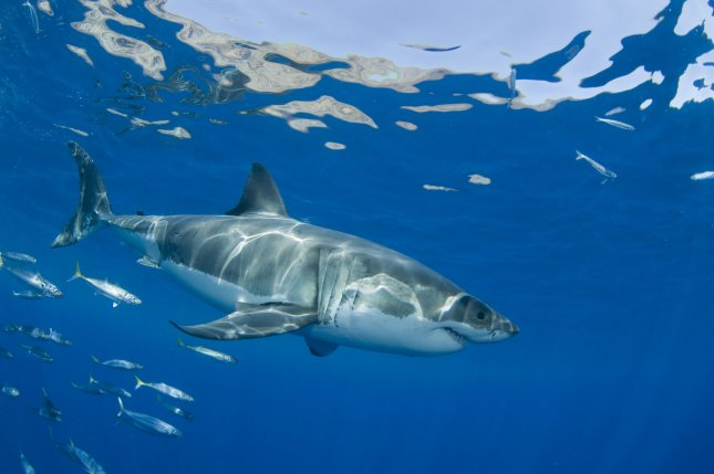 Warm-bloodedness helps white sharks swim faster and may help with predation and migration, but may also leave them as susceptible to warming ocean temperatures as other fish. File Photo by Joe Marino/UPI