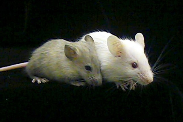 Scientists trained lab mice to associate a specific sound with either a punishment or a reward. Photo by rw/HO/Carolyn Cronin/UPI