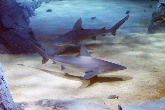 Microfossils from deep-sea sediments suggest a massive die-off of sharks about 19 million years ago, but researchers say they're not sure what caused the sharks to die. File Photo by Bill Greenblatt/UPI