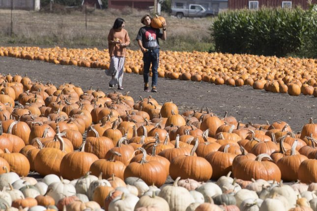 Pumpkin growers are optimistic that 2020 will see a lot of demand during the fall season, despite coronavirus pandemic restrictions that were unheard of during the 2019 pumpkin season shown here. File Photo by Terry Schmitt/UPI
