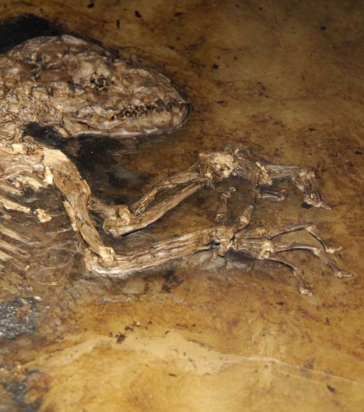 The fossil remains of a 47-million-year-old animal, named 'Ida', was unveiled at the American Museum of Natural History as the possible 'missing link', in New York on May 19, 2009. It is said to be an extremely early primate that is close to the start of the evolutionary branch leading to monkeys and humans. (UPI Photo/HO)