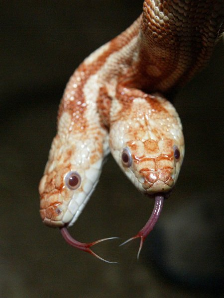 Two Headed Albino Snake Up For Sale
