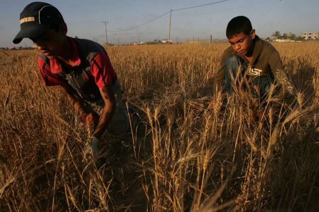 Palestinian farmers collect wheat stalks during the annual harvest at a farm near the Deir Al-Balah refugee camp, in central Gaza Strip on May 13, 2010. UPI/Ismael Mohamad
